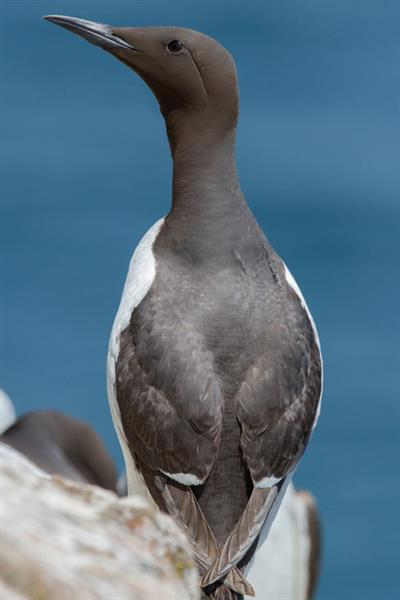 Guillemot Alun Williams